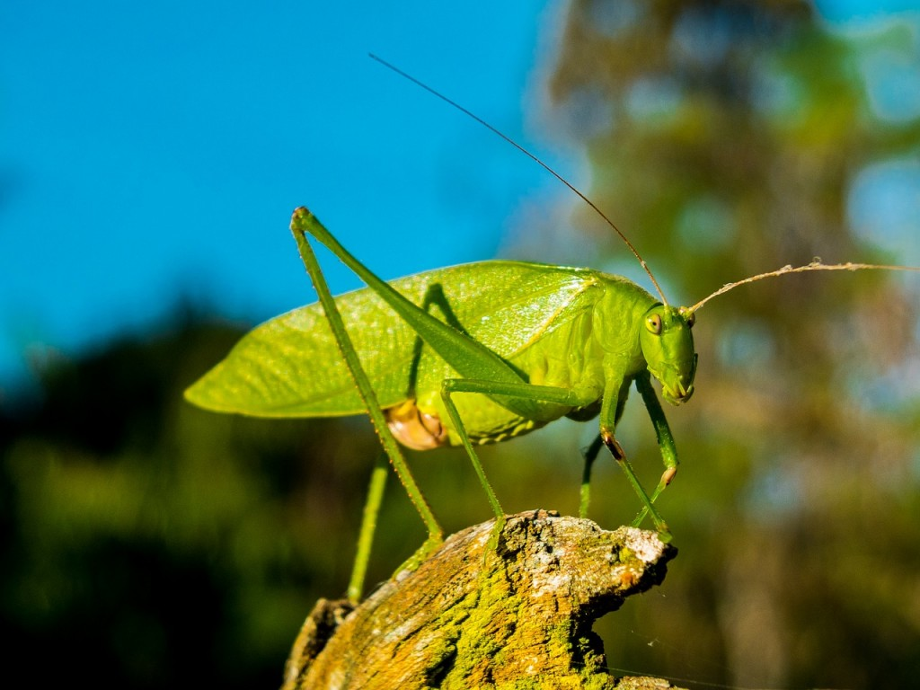 grasshopper-262616_1280
